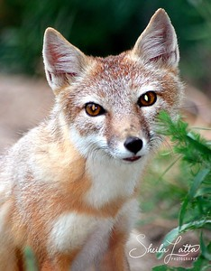 Fox is a general term applied to any one of roughly 27 species of small to medium-sized omnivorous canids in the tribe vulpini with sharp features and a brush-like tail and they are known for their incredible mating power.