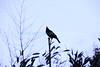 Crow1 (Memorial Day- Mon 5 24 09)