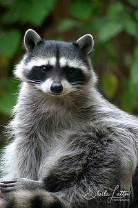 Raccoons range from 50 to 100 cm in length (including the tail) and weigh between 4.5 and 16 kg. The raccoon's tail ranges from 20 to 40 cm in length. Male raccoons are generally larger than females. A baby raccoon is called a kit.