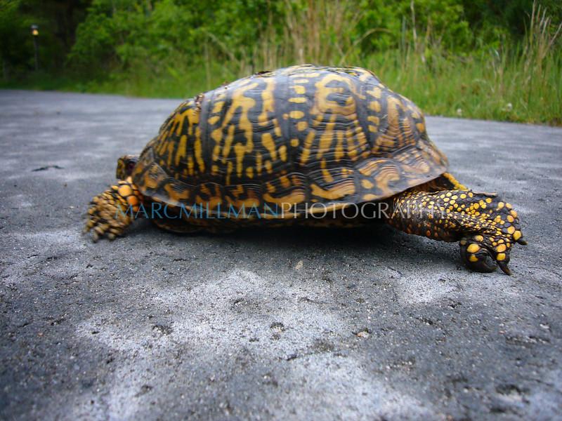 Yertle the Turtle in P o' W1 (Sun 5 31 09)