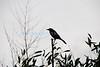 Crow2 (Memorial Day- Mon 5 24 09)