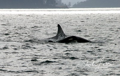 In 2005, the United States government listed the Southern Resident community of Orcas as an endangered population under the Endangered Species Act. The Southern Resident community comprises three pods which spend most of the year in the Georgia and Haro Straits and Puget Sound in British Columbia and Washington state. These Orcas do not breed outside of their community, which was previously estimated at around 200 animals and had shrunk to around 90