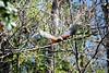 Hawk wind (Corkscrew Swamp- Mon 2/15/10)