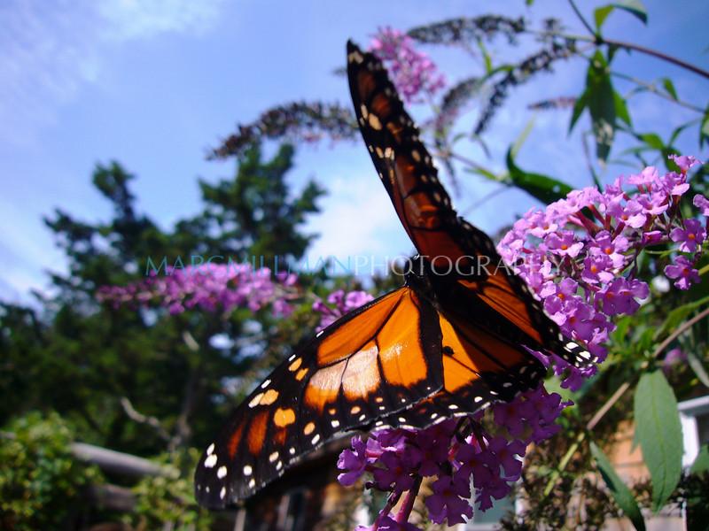 Butterfly (Fri 9 14 07)