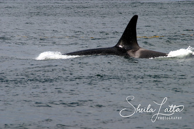 Orcas are very fast swimmers. They can swim up to 30 mph (48 km) in bursts in order to catch prey.