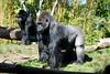 Gorillas (San Diego Zoo- Wed 2 18 09)