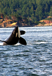 Orcas can dive to a depth of 100 feet (30 m) in order to hunt. Orcas commonly breach (swim at very fast speeds toward the surface in order to rise above the surface of the water and then fall back onto the surface, splashing and making noise). Spyhopping (poking the head out of the water to look around) and tail slapping are also common orca activities.