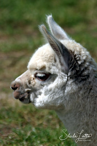 The majority of Alpaca ranches in South America are located in the high altitude regions of Peru, Bolivia and Chile. Despite the fact that conditions on the Altiplano are often harsh, the Alpaca has thrived as a domesticated animal for some 6,000 years.