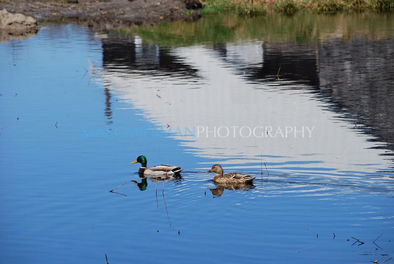 Duck Duck (P o' W- Sun 4 5 09)