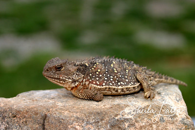 "The Desert horned lizard (Phrynosoma platyrhinos) is a horned lizard native to western North America. They typically range in size from 3 - 5in (7.6 - 13.6cm). They are sometimes referred to as ""Horned"" or ""Horny Toads"", although they are not toads.  This species of lizard has a distinctive flat-body with one row of fringed scales down the sides. They have one row of slightly enlarged scales on each side of the throat. Colors can be variable and generally blend in with the color of the surrounding soil, but they usually have a beige, tan or reddish dorsum with contrasting, wavy blotches of darker color. They have two dark blotches on the neck that are very prominent and are bordered posteriorly by a light white or gray color. They also have pointed scales on the dorsum (back) of the body. Juveniles are similar to adults, but have shorter and less-pronounced cranial spines. Desert Horned Lizards have horns that are longer than they are wide at the base, which isn't true for their congener, the Short-horned lizard.  Desert horned lizards prey primarily on ants, but are also known to prey on other slow-moving insects such as beetles, as well as spiders and some plant material. They can often be found in the vicinity of ant hills, where they sit and wait for ants to pass by. When they find an area of soft sand, they usually shake themselves vigorously, throwing sand over their backs and leaving only their head exposed. This allows them to hide from predators and await their unsuspecting prey.  They can usually be found in arid regions that have at least some loose soil available for burrowing, usually areas with sandy soils and limited vegetation such as sagebrush or shadscale. Still, they can also be found in areas with hardpan and gravelly soils as well. They typically range from southern Idaho in the north to northern Mexico in the south.  These lizards mate in the spring and lay 2-16 eggs in June to July, which hatch sometime in August. Incubation lasts about 50-60 days. Individuals reach maturity in about 22 mo.  They are generally a gentle species, but have been known to try to push their crainial spines into the hand while held. If provoked, they hiss and threaten to bite. When excited, they puff themselves up with air, similar to the way a Chuckwalla does, making themselves look bigger. If spotted near a bush, they will dash into it in an attempt to find cover from any threat. If threatened, they have been known to squirt blood from their eyes as far as 5 feet."