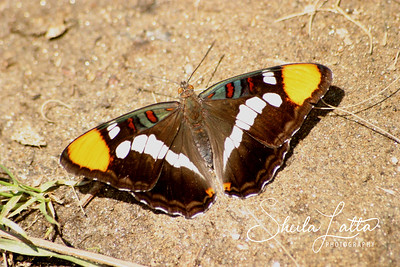 The California Sister butterfly is similar in appearance to the Lorquin's Admiral. However the California sister has red spots surrounded by black whereas the Admiral has orange wing tips. It can also be distinguished by the small blue wing shaped patches with red centers on the front of the fore wing. The California sister is named for its black and white coloration on the fore wing that resembles a Nuns habit.