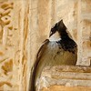 Alhambra Sparrow
