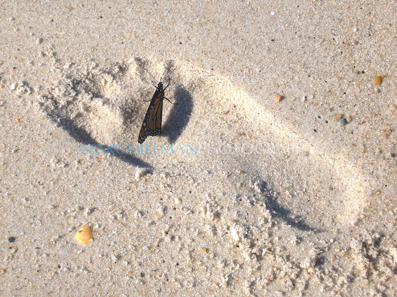 Monarch in the Footprint (Tue 9 4 07)