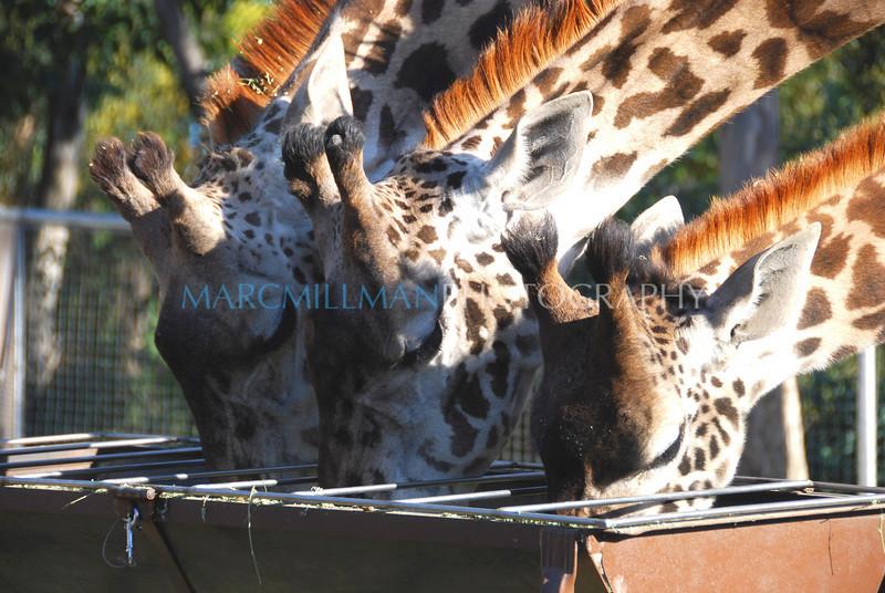 Feeding Time (San Diego Zoo- Wed 2 18 09)