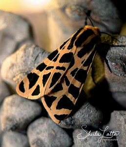 Tiger moths are moths of the family Arctiidae.