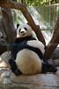 Panda Love (San Diego Zoo- Wed 2 18 09)