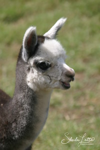 Along with Llamas, Guanacos, and Vicuñas, Alpacas are a member of the South American Camelid family. Aside from the Vicuña, Alpacas boast the rarest and finest fiber of all the camelids.