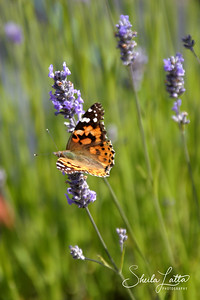 The Painted Lady Butterfly is found throughout most of the world.  It is similar to the West Coast Lady as they both have many small dots on the underside of the hind wing. The west coast lady has an orange spot along with the white ones on the edge of the upper fore wing. The American Painted Lady has two very large eye spots on the underside of the hind wing.