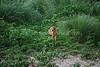 Bambi (Sun 7 6 08)