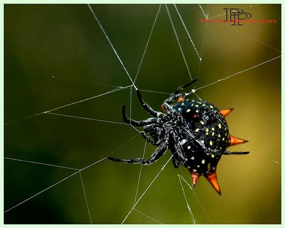 Orb Weaver Spider--{Florida}