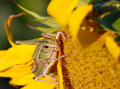 Locust at Rest
