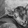 2-16-15: baby calf, under a heat lamp at Mt. Crawford Creamery