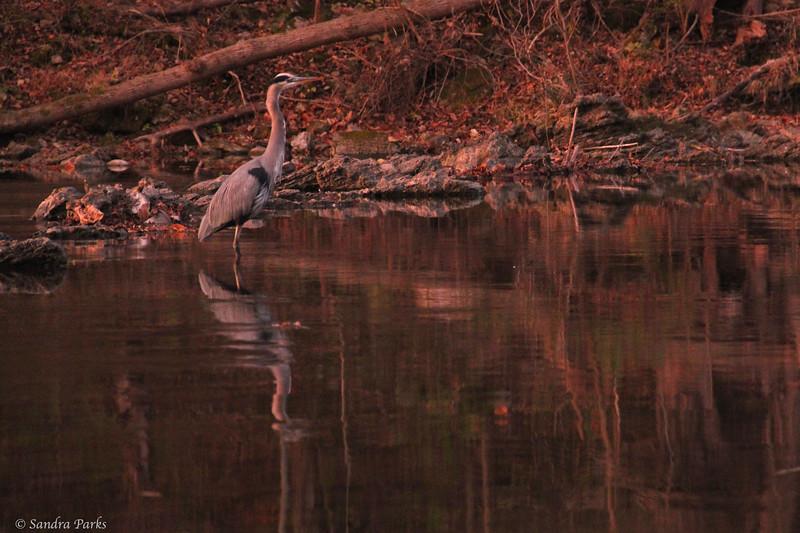 11-4-14: Heron, at first light.