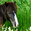 5-17-15: pony in the tall grass