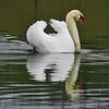 3-29-14L Swan, Silver Lake