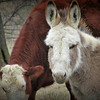 3-1-14- Donkey, amongst the cows