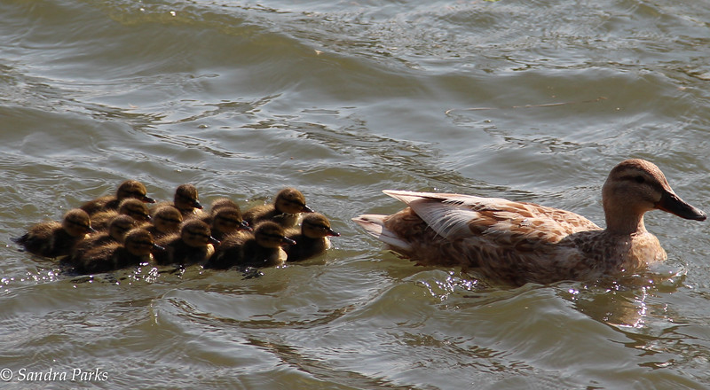 4-22-15: ducklings in the North RIver