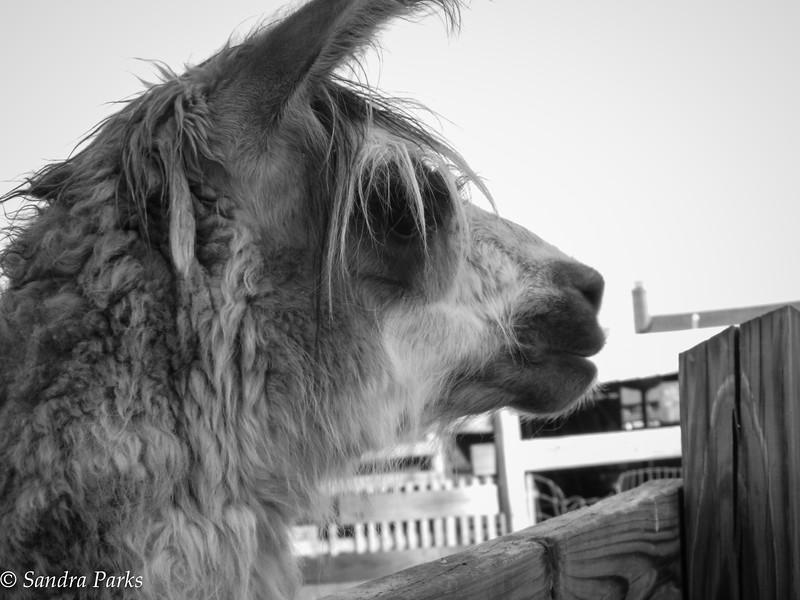 5-22-15: The Llama's name is Steve.