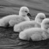 5-5-14: SIlver Lake cygnets