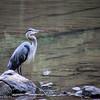 8-10-15: Heron at WIldwood