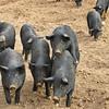 Mulefoot hogs.