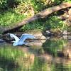 8-14-15: Great egret, at Wildwood