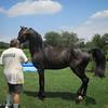 8-8-15: The Black Stallion.
