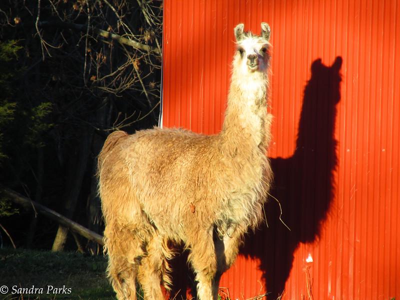 11-25-15: Llama Steve