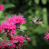 7-14-14: Hummingbird