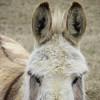 1-25-15: Donkey ears