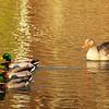 4-5-14- Duck, duck, duck, goose