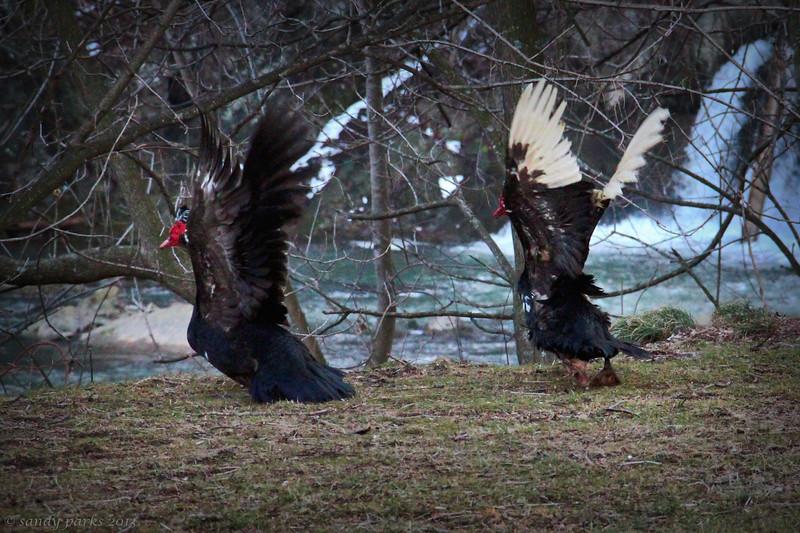 3-9-14- Wild muscovy ducks after Max saw them.jpg