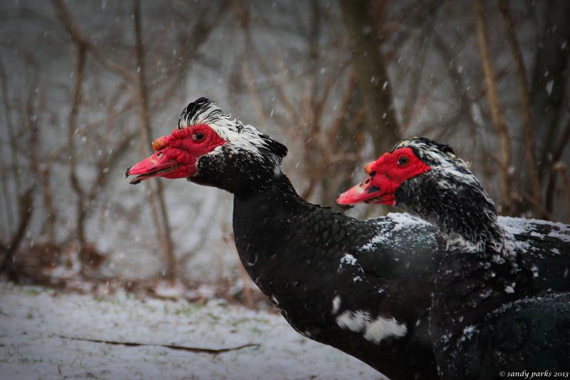 3-25-14: Muscovy ducks,  in snow.