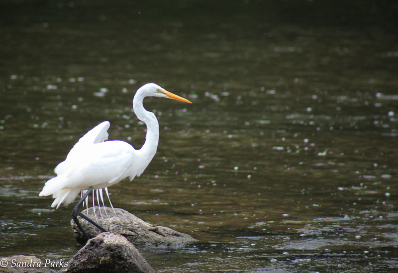 8-10-15: Egret in the North RIver.