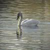 2-11-15: Silver Lake swan.. trumpeter?