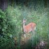 6-7-14- Deer at Mossy Creek