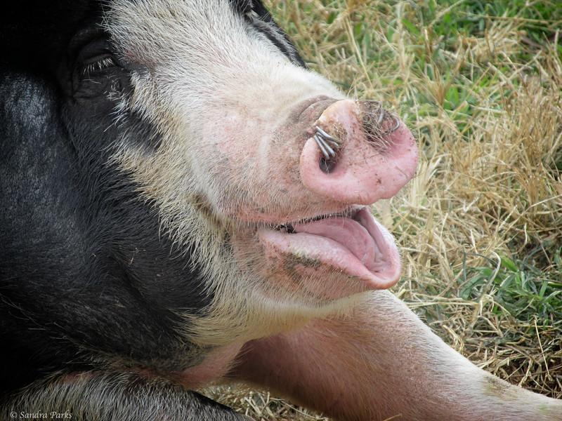 11-23-14: Yawning pig, on Dry River.