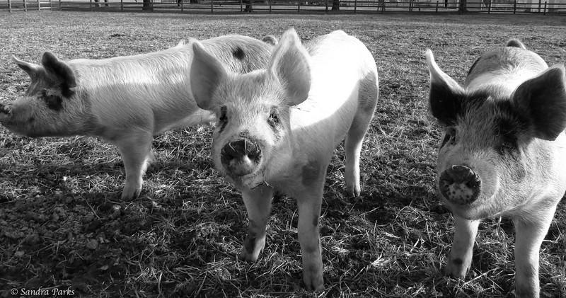 3.16.15: Ham, bacon, and sausage. 2015 edition.
