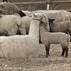 3-1-14- Llama and lamb