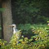6-30-15: The heron returns to WIldwood